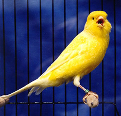 Burungkenarijogjaicon2011
